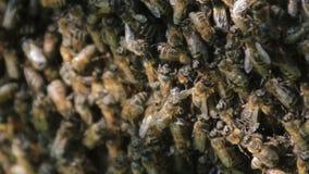 Pszczoły nawracają nektar w miód Zbliżenie pszczoły na honeycomb w pasiece zdjęcie wideo