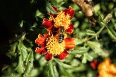 Pszczoły obsiadanie na pomarańczowym nagietka kwiacie Obrazy Royalty Free