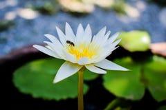 Pszczoły obwąchania pollen Biały Lotus zdjęcia royalty free
