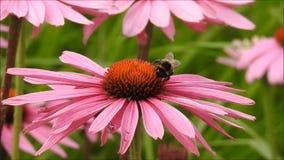 Pszczoły pięcie na kwiacie zbiory