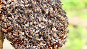 Pszczoły pracują na honeycomb zdjęcie wideo
