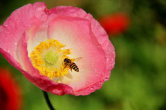 Pszczoły pracują w kwiacie Fotografia Stock