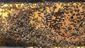 Pszczoły Pracuje Na Honeycomb Z miodem zdjęcie wideo