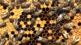 Pszczoły Pracuje Na Honeycomb Z miodem zbiory wideo
