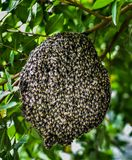 Pszczoły przy honeycomb, insekt w naturze fotografia royalty free