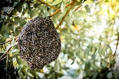 Pszczoły przy honeycomb, insekt w naturze zdjęcia stock