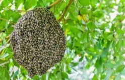 Pszczoły przy honeycomb, insekt w naturze fotografia stock