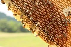 Pszczoły rama w wiośnie Obraz Stock