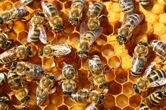 pszczoły reprodukcja Zdjęcia Stock