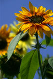 pszczoły słonecznikowe Obrazy Royalty Free