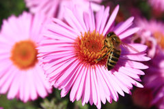 Pszczoły siedzi na asterach Zdjęcia Stock