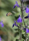 pszczoły skrzyknący błękit Fotografia Royalty Free