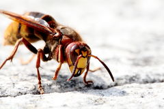 pszczoły up zamknięty Zdjęcia Royalty Free