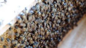 Pszczoły Utrzymywać zdjęcie stock