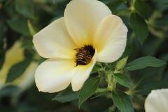 Pszczoły w kwiatu ogródzie fotografia stock