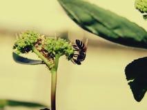Pszczoły w naturze i kwiatach obraz royalty free