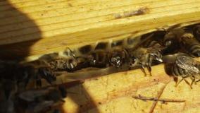 Pszczoły w roju zbiory wideo