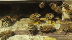 Pszczoły w roju zdjęcie wideo