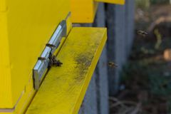 Pszczoły wchodzić do rój Pszczoły broni rój obraz royalty free