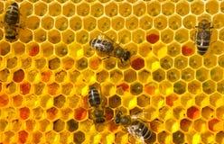Pszczoły z kwiatu pollen obrazy stock
