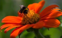 pszczoły zakończenia kwiatu pomarańczowy strzał pomarańczowy Obrazy Royalty Free