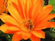 pszczoły zakończenia kwiatu pomarańczowy strzał pomarańczowy Fotografia Royalty Free