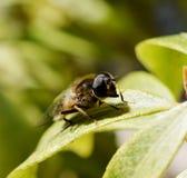 pszczoły zamkniętej głębii pola ostrości selekcyjna płycizna selekcyjny Zdjęcia Royalty Free