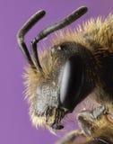 pszczoły zamknięty górnika profil zamknięty Zdjęcia Royalty Free