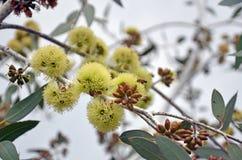 Pszczoły zapyla Eukaliptusowych desmondensis kwiaty zdjęcia stock