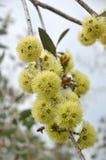 Pszczoły zapyla Eukaliptusowych desmondensis kwiaty zdjęcie royalty free