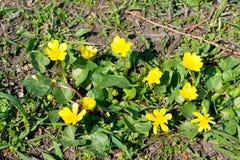Pszczoły zapylają żółtego wiosna kwiatu Pierwiosnki w ogródzie żółty wiosna kwiat Lesser glistnika Ranunculus ficaria Zdjęcie Royalty Free