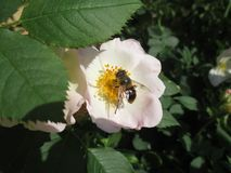 Pszczoły zapylają kwiaty są mnogi w kraju fotografia royalty free