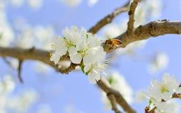 Pszczoły zapylania czereśniowy okwitnięcie Zdjęcie Stock