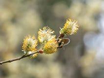 Pszczoły zbieracki pollen Obraz Stock
