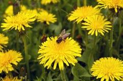 Pszczoły zbieracki pollen na dandelion dandelions obraz stock