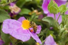 Pszczoły zbieracki pollen od kołysa różanego obraz stock