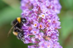Pszczoły zbieracki pollen od purpury rośliny Obraz Royalty Free