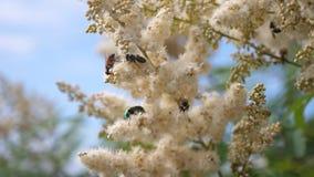 pszczoły zbierają miód od kwiatów w ogródzie Pszczoły latają wewnątrz na białych kwiatach i zbierają nektar swobodny ruch insekty zbiory wideo