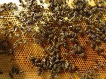 Pszczoły zbierają nektar i pollen obraz stock