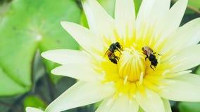 Pszczoły zbierają nektar robić miodowi obraz royalty free