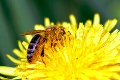 pszczoły zbierający kwiatów pollen Obrazy Royalty Free