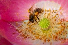 Pszczoły zgromadzenia Pollen Od menchii I Białego maczka kwiatu obrazy royalty free