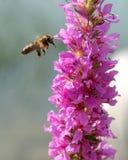 pszczoła Obraz Royalty Free