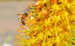 Pszczoła Zdjęcie Stock