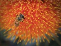 Pszczoła 01 Zdjęcie Stock