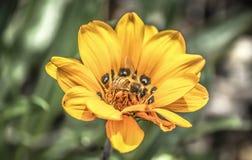 Pszczoła Zdjęcia Stock