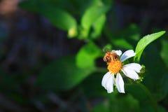 Pszczoła Zdjęcia Royalty Free