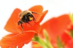 pszczoła bodziszek Zdjęcia Royalty Free