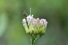 Pszczoła chwyt na pollen kwiat Zdjęcia Royalty Free