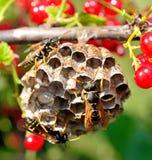 pszczoła dzika Zdjęcie Royalty Free